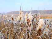 Winter hoarfrost on cattails at edge of lake — Stock Photo