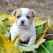 Stock Photo: Little doggie are in autumn letter