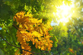 Autumn leaves are in sunbeams — Stockfoto