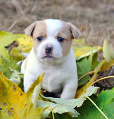Little doggie are in an autumn letter — Stock Photo