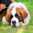 Saint Bernard — Stock Photo #6829256
