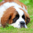 Saint Bernard — Stock Photo #6829260