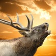 Roaring red deer in a time of estrus - Stock Photo
