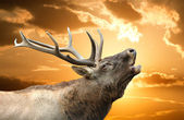 Roaring red deer in a time of estrus — Stock Photo