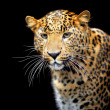Leopard — Stock Photo #7323711