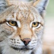 Portrait lynx — Stock Photo #7323817
