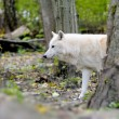 Stock Photo: White wolf in forest