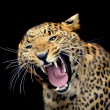 Leopard — Stock Photo #7327908