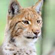 Portrait lynx — Stock Photo #7327909