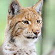 Stock Photo: Portrait lynx