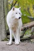 Lobo branco em floresta — Fotografia Stock