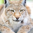 Lynx portrait — Stock Photo #7955766