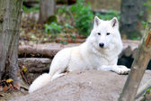 White wolf in forest — 图库照片