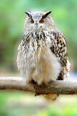 Owl on branch — Stock Photo