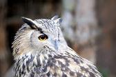 Portrait owl — Stock Photo