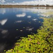 Wetlands billabong Australian swamp — Stock Photo