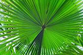 Palm leaf detail — Stock Photo