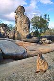 Rock wallaby — Stock Photo