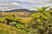 Queensland landscape with tree fern and rain forest — Stock Photo