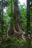 Rain forest tree trunk and vines — Stock Photo