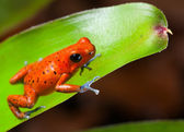 Red poison dart frog — Stock Photo