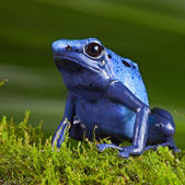 Blue poison dart frog — Stock Photo