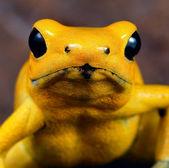 Zehirli ok kurbağası — Stok fotoğraf