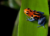 Red striped poison dart frog blue legs — Stok fotoğraf