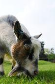 Pygmy Goat grazing — Stock Photo