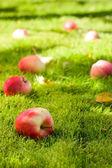 Fallen apples. — Stockfoto