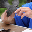 Catbird Being Banded — Stock Photo