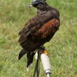 Hooded Harris Hawk — Stock Photo