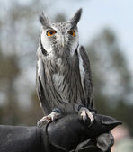 White Faced Owl — Stock Photo