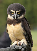 Spectacled Owl — Stock Photo