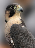 Portrait of Peregrine Falcon — Stock Photo