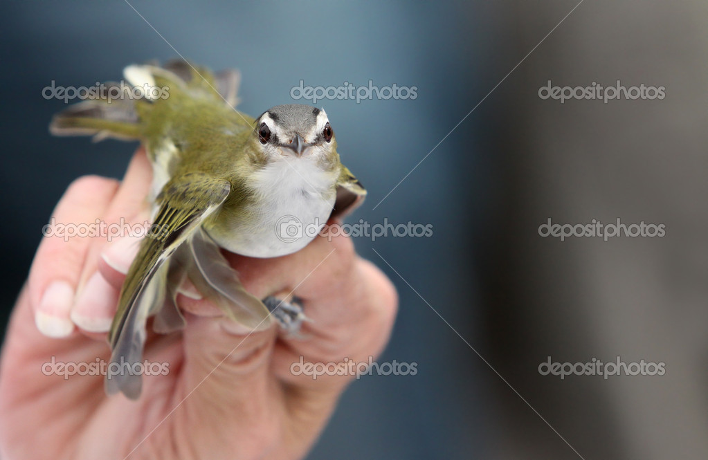 A Red-Eyed Vireo looks straight at the camera as it waits to be banded to track its migration. Copy space to the right. — Stock Photo #6953583