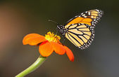 Monarch on Mexican Sunflower — Stock Photo