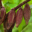 Cocoa pods - Stock Photo