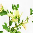 Green small leaves on the white background — Stock Photo