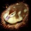 Duckling — Stock Photo #6868615