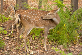 Child of the red deer in wood . Bandhavgarh. India. — Stock Photo