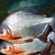 Stock Photo: Piranha