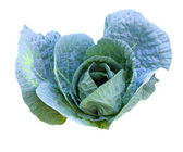 Cabbage head growing on the vegetable bed — Stock Photo