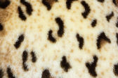 Abstract texture of leopard skin — Stock Photo