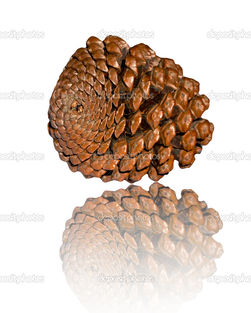 Cedar cone isolated on white background  — Stock Photo #6874444