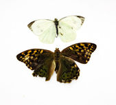 Two beautiful tropical butterflies insulated in white — Stock Photo