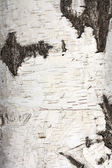 Texture of birch bark, background — Stock Photo