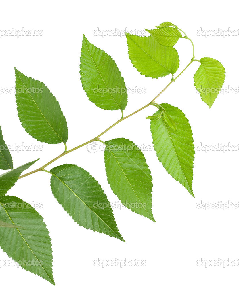 Green small leaves on the white background — Stock Photo #7503726