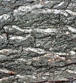 Ek bark textur — Stockfoto
