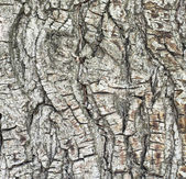 Bark of pine tree in forest — Stock Photo